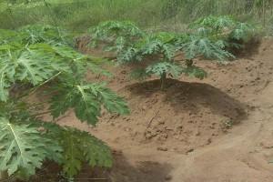 gambar pemeliharaan tanaman dalam budidaya pepaya image