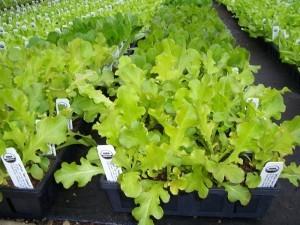gambar salah satu jenis tanaman holtikultura image