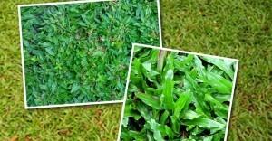 gambar cara menanam rumput gajah mini image