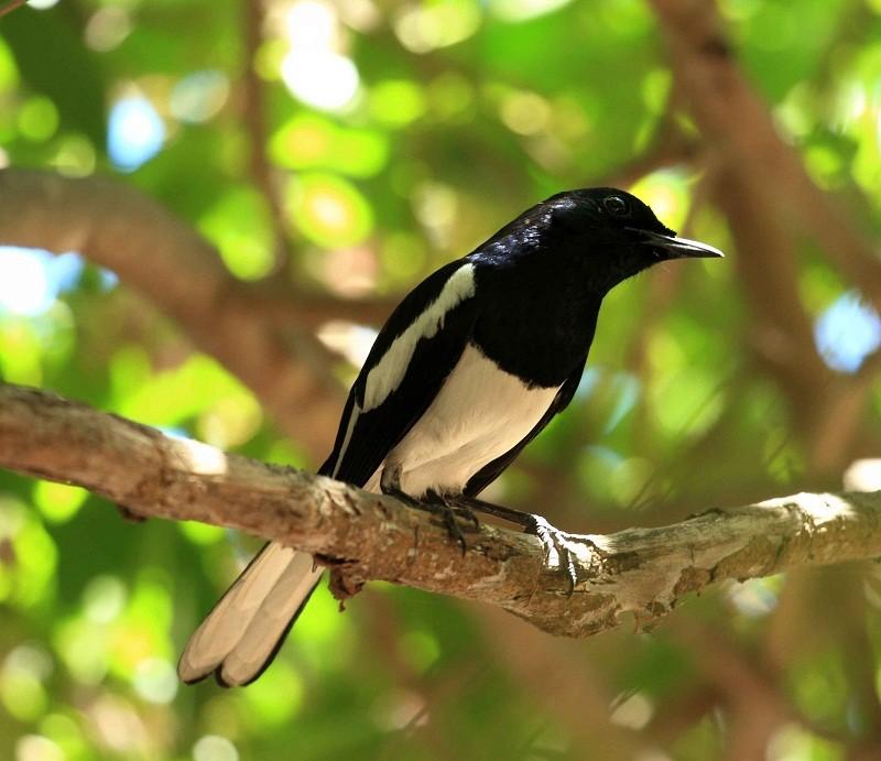 Ternak Kacer Pelajari 6 Tips Cara Ternak Burung Kacer Ini