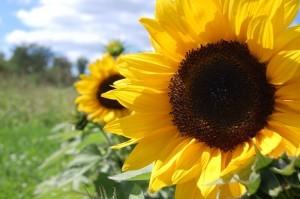 gambar cara menanam bunga matahari image