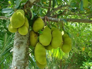 gambar pohon dari manfaat buah nangka image