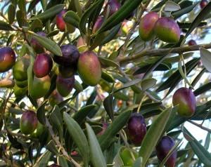 gambar manfaat buah zaitun 1 image