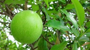 Inilah buah maja sebagai pupuk perangsang pertumbuhan vegetatif image