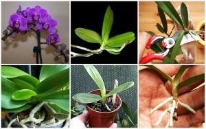 gambar cara menanam bunga anggrek dengan mengambil anakan dari induk anggrek image