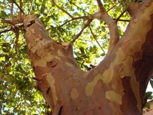 Pohon Jambu Ingin Tahu Morfologinya Baca Disini