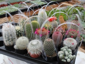 gambar kaktus mini bentuk souvenir rangkaian di hias pita image