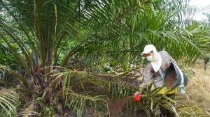 cara menanam sawit