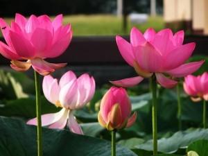gambar bunga lotus - Nelumbo nucifera G image
