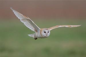 Kecepatan burung tyto alba dalam menerkam mangsa image
