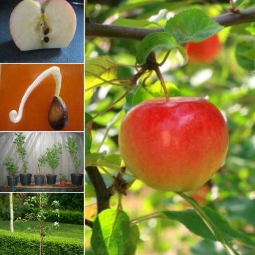 Cara Menanam Apel dari Biji dengan 4 Langkah