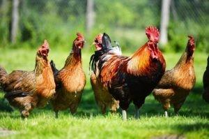 Prinsip membangun bisnis ayam kampung image