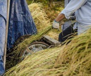 Cara pembuatan kompos dari jerami padi image