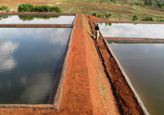 Kolam Ikan Nila - Cara Persiapan Kolam Sebelum Tebar Benih