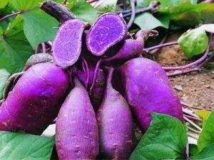 manfaat ubi ungu