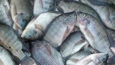 Rangkuman Cara Budidaya Ikan Mujair Lengkap Ada Disini ( Bag II )