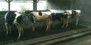 ternak sapi perah