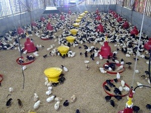 Apakah Perlu Pemberian Vitamin Ayam Untuk Ternak Ayam Anda?