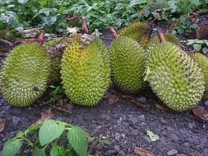 4 Tahapan Budidaya Durian Yang Dapat Meningkatkan Hasil Panen