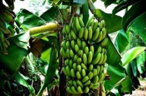 tumbuhan pisang