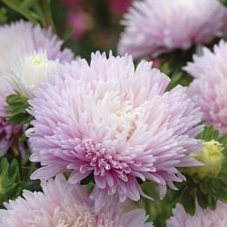 bibit bunga hias