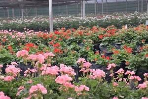 10 Bisnis Bibit Bunga Hias Yang Sangat Menguntungkan