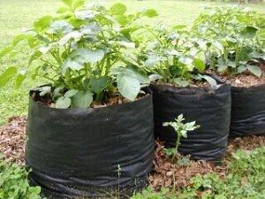 cara menanam kentang di polybag