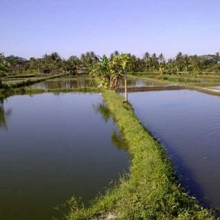 Jual benih Nila jantan
