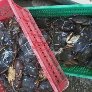 Jual kepiting bakau hitam