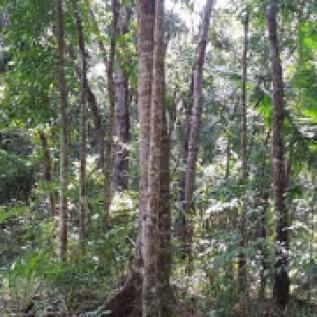 Dijual Kebun Mahoni Banjarsari-Ciamis Jawa Barat