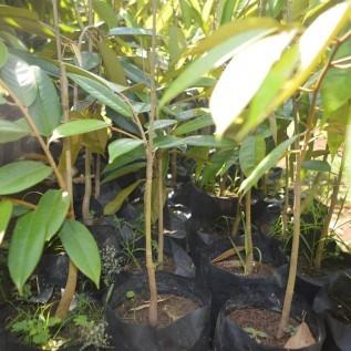 Jual bibit durian montong uk 40-60cm siap tanam