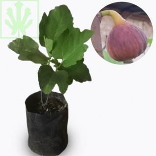 Jual bibit buah ara / tin purple yordan - ukuran 20 - 40cm