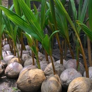 Jual bibit kelapa kopyor