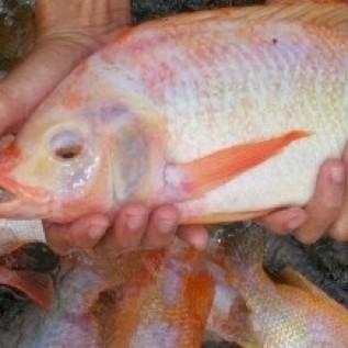 Jual open order ikan nila merah konsumsi 1kg (4/5)