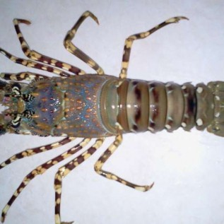 Jual lobster mutiara, hub 082292651576
