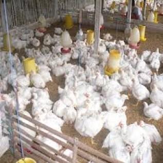 Jual Doc Ayam Broiler Asli