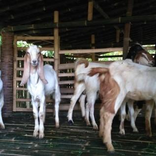 Dicari investor untuk pengembangan ternak kambing PE