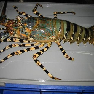 Jual budidaya lobster terpercaya