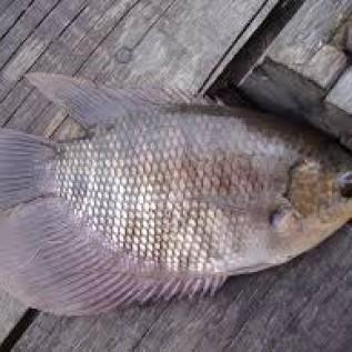 Jual ikan gurame konsumsi