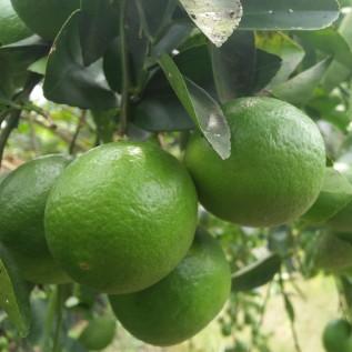 Jual jeruk nipis