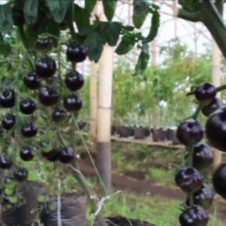 Jual penanaman baby buncis kenya, kale curly, kale nero, tomat hitam ( indigo rose)