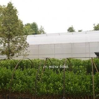 Jual pusat bibit jeruk siam banjar/siam manis bersertifikat dan berlabel biru