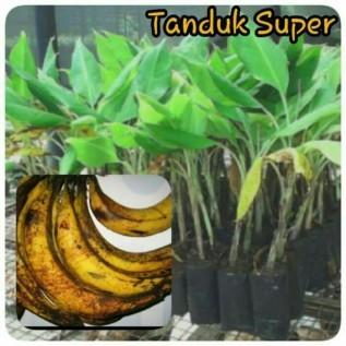 Jual bibit pisang tanduk super hasil kultur jaringan dengan tinggi 25-35 cm