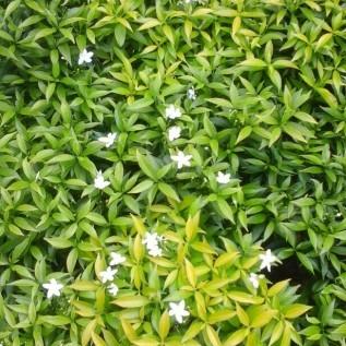 Jual pohon karimbosa mini|tanaman hias berbunga indah|supplier tanaman dan rumput