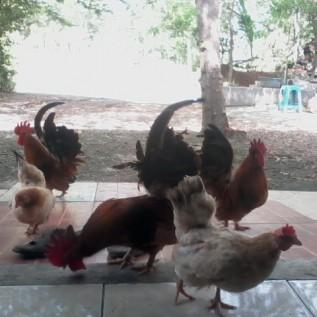 Jual ayam hias serama