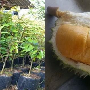 Jual bibit durian duri hitam| black thorn | ochee super  asil harga bersahabat