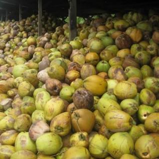 Jual kelapa tua atau kelapa santan/coconut milk