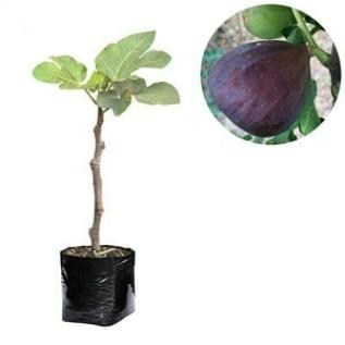 Jual bibit buah ara / tin black genoa 30-40cm