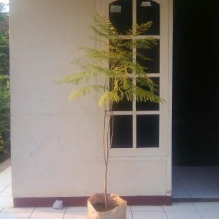 Jual pohon jacaranda,081286748062