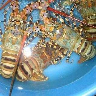 Jual lobster mutiara